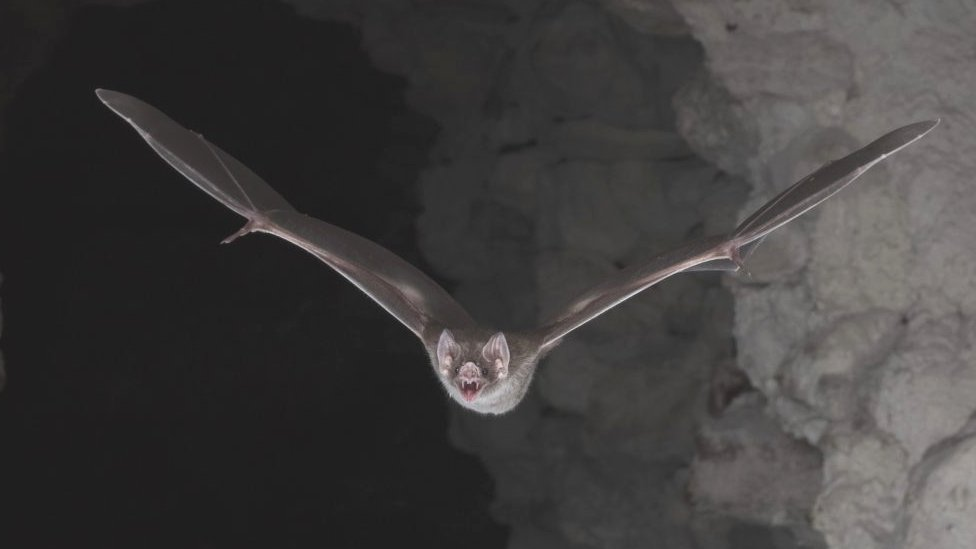 A common vampire bat going out for its nocturnal hunt
