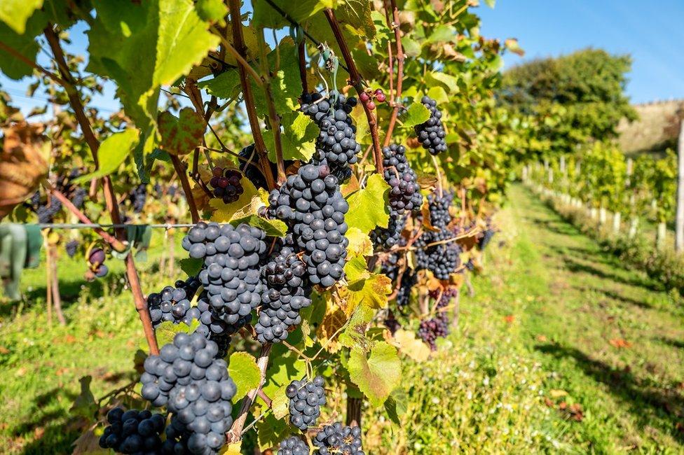 Perkebunan anggur di Breaky Bottom di Lewes