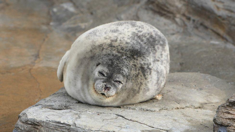 Uspavana foka
