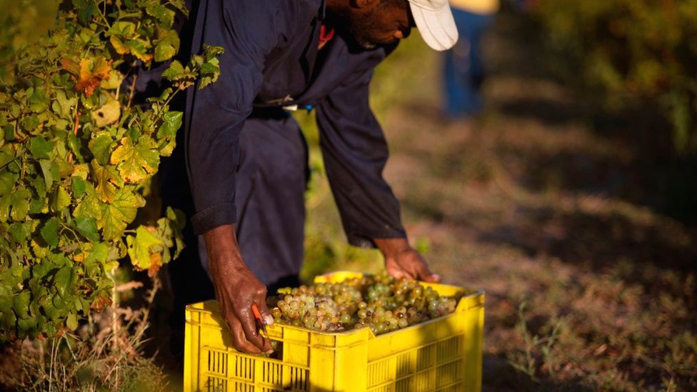 A farm labourer on a vineyard in the Western Cape province, South Africa