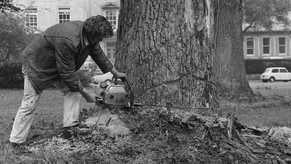 Diseased Elm tree being felled in Bristol, 1971