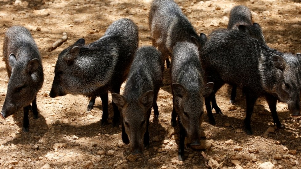Peccaries are pictured at the Paraguana zoo in Punto Fijo, Venezuela July 22, 2016