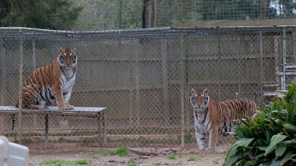 Tigers in inadequate enclosures at a roadside zoo