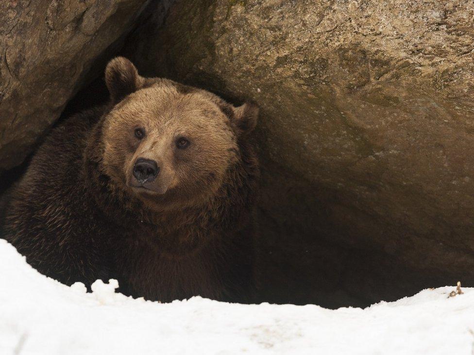 Un oso en la entrada de una cueva.