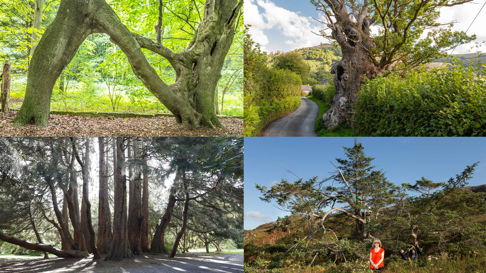Wales' tree of the year crowned