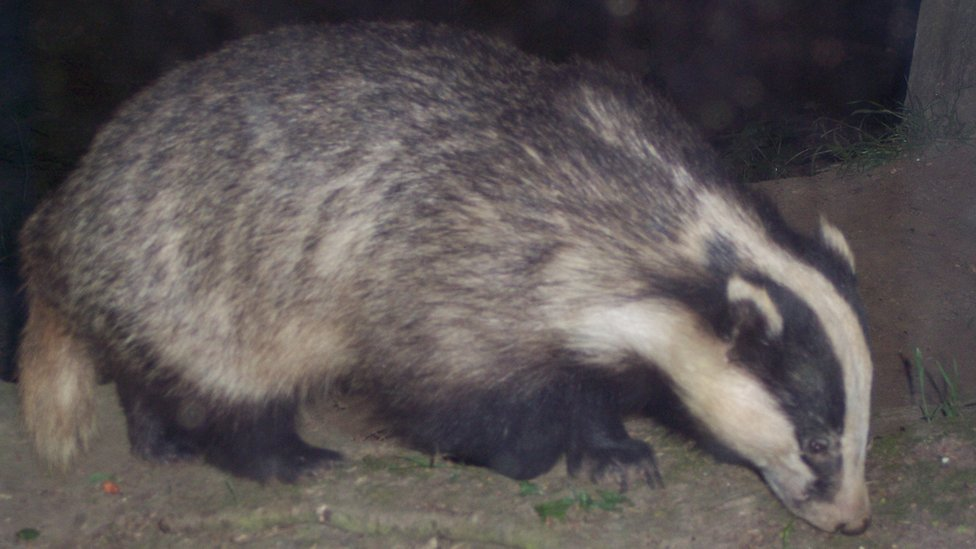 Badgers back at 'sinking' Somersham country road