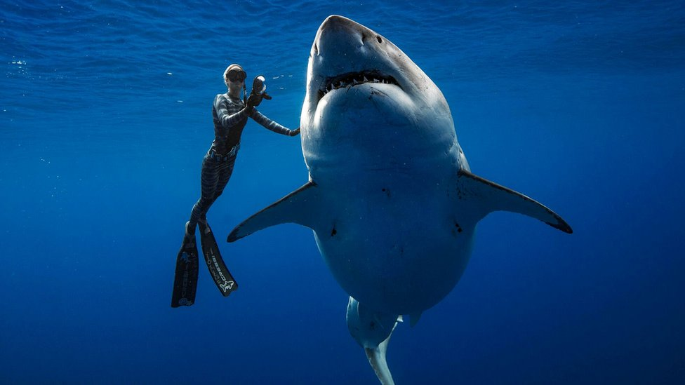 Divers swim with one of biggest great white sharks off Hawaii