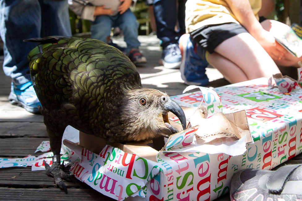 A kea parrot rips open its wrapped box of Christmas treats