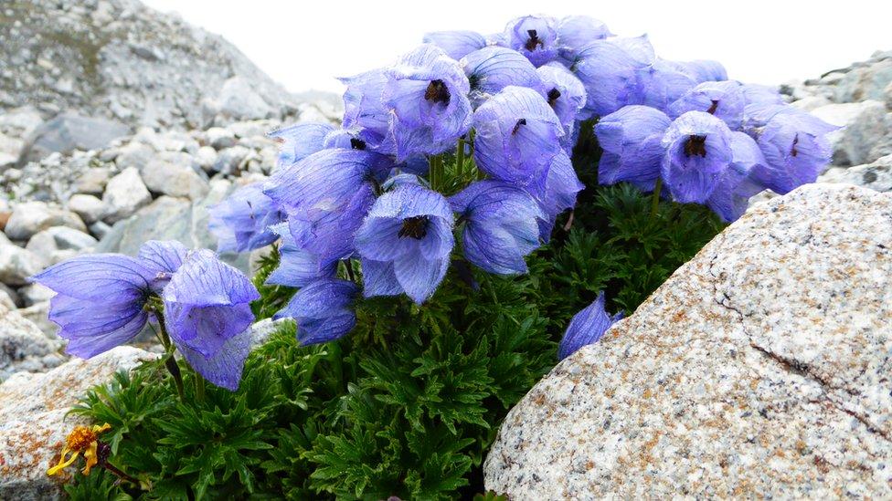 Flor en el glaciar Ngozumpa a una altitud de 4.750 metros.