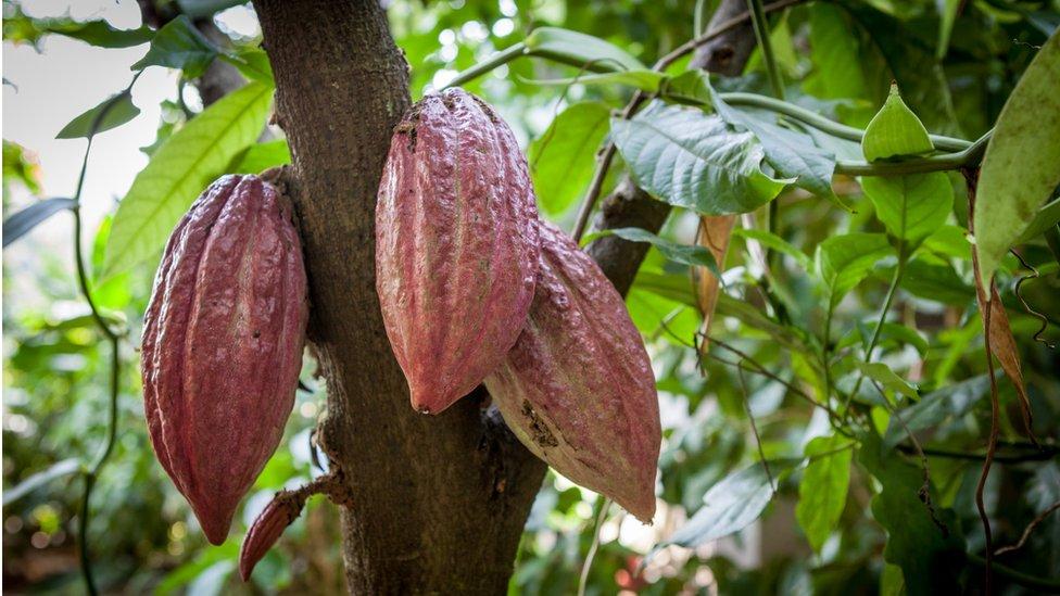 Stablo kakaoa