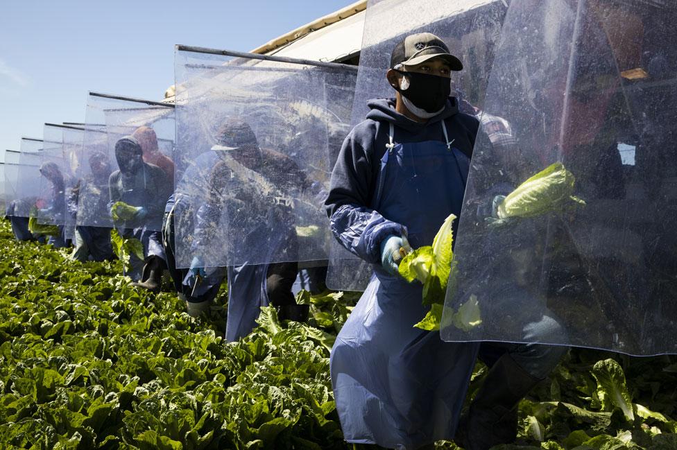 Trabajadores agrarios separados por planchas de plástico en California