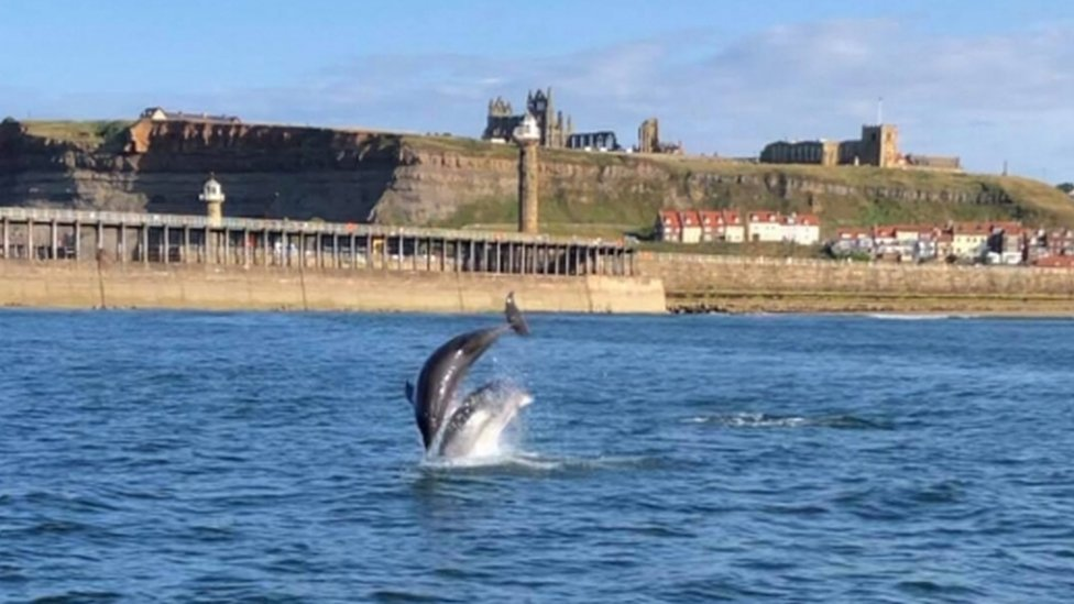 A pod of dolphins was spotted off the coast of Whitby