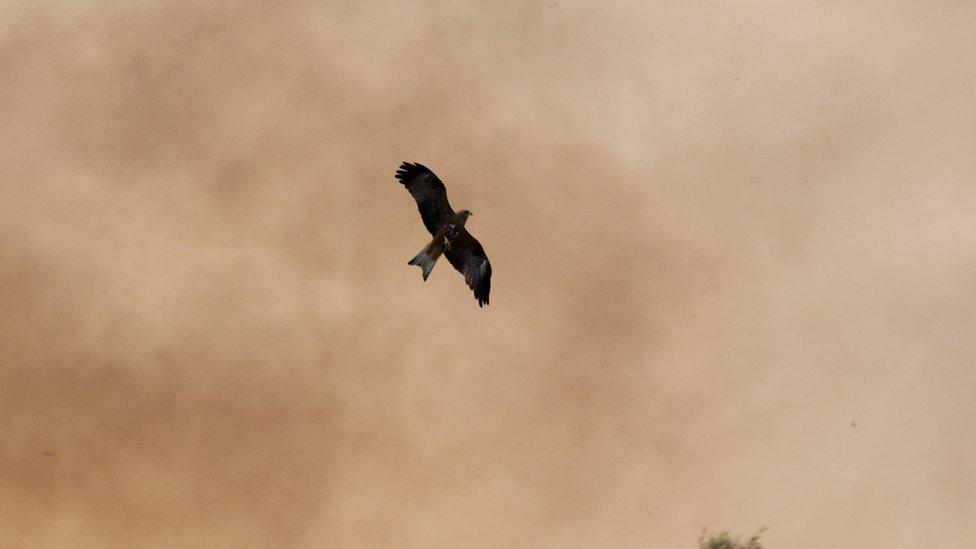 Un milano cazando en los alrededores de los incendios en Queensland