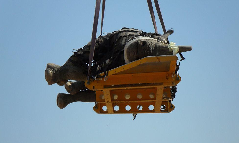 Rinoceronte recostado de lado en una plataforma que cuelga de un helicóptero
