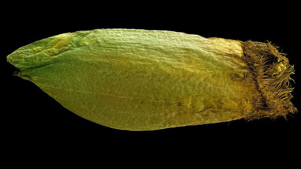Semilla de Triticum monoccoccoum