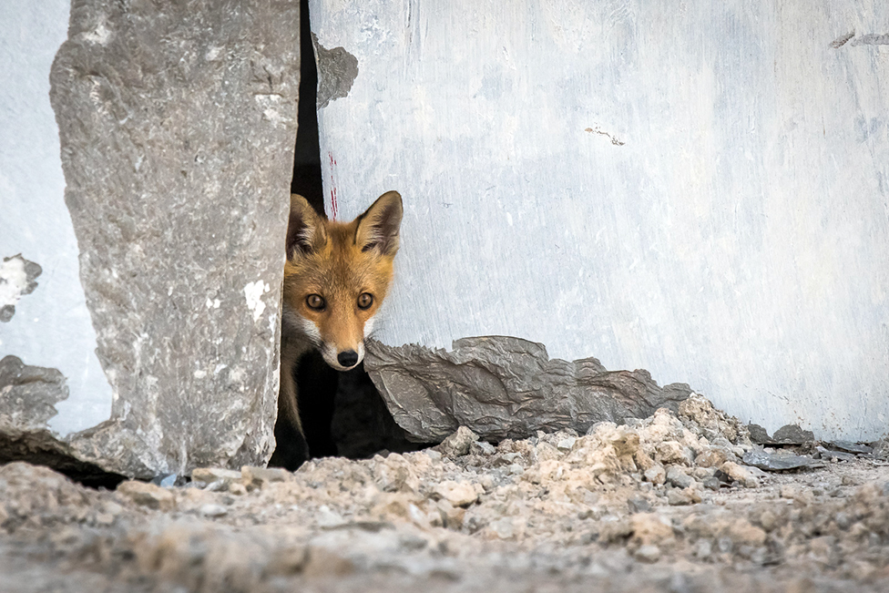 A young fox looking out from behind a rock