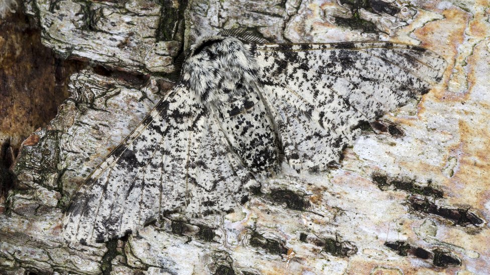 peppered moth on tree trunk