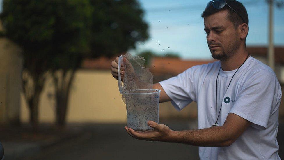 Pakar biologi di Brasil melepaskan nyamuk untuk menghadapi wabah Zika.