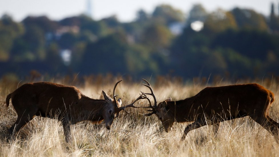 Dua rusa jantan terlihat bertarung di Richmond Park di London