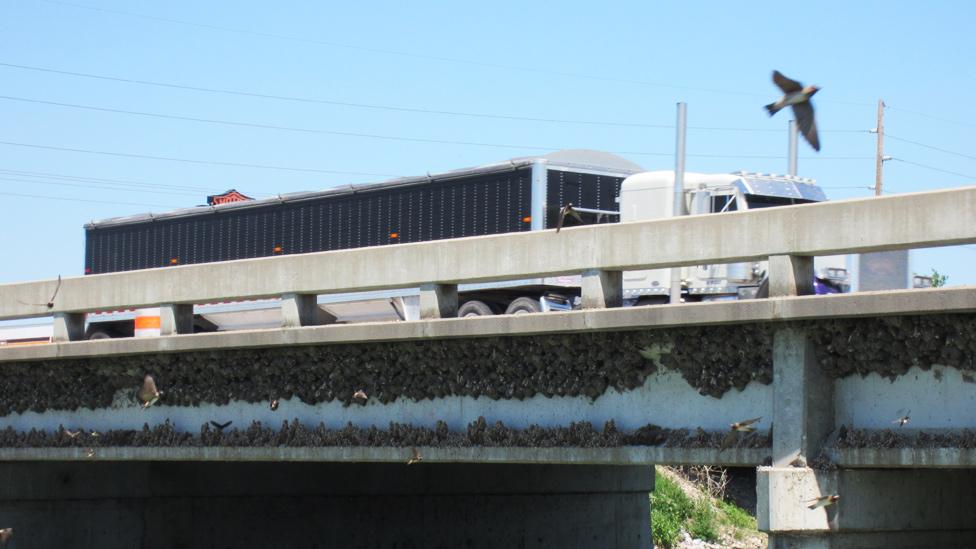 Golondrinas risqueras y sus nidos bajo un puente en una carretera
