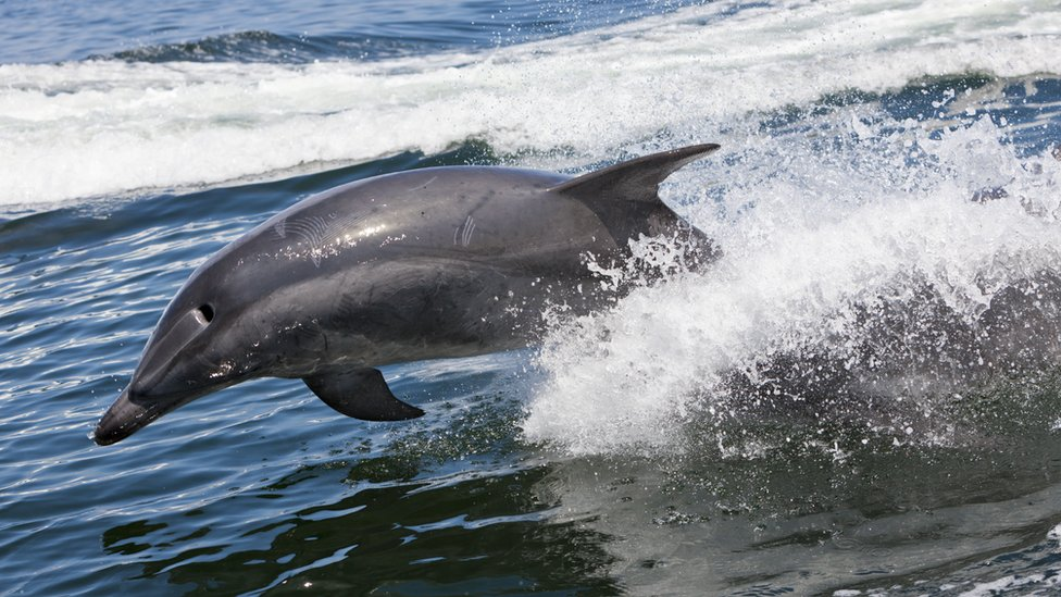 Bottlenose Dolphin in Walvis Bay, Namibia