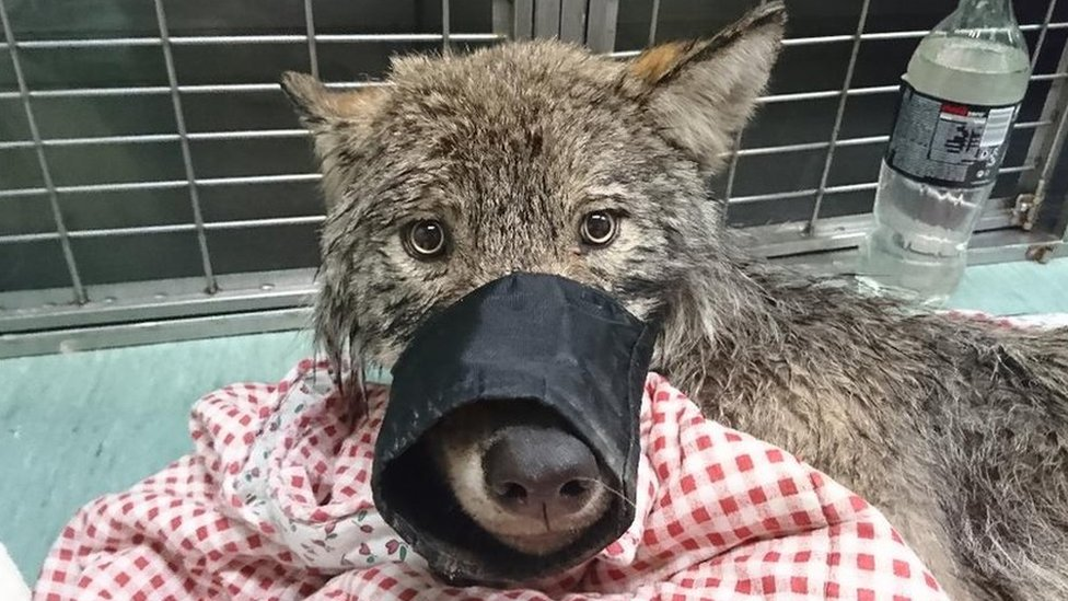 Men rescue 'dog' from ice - but find wolf