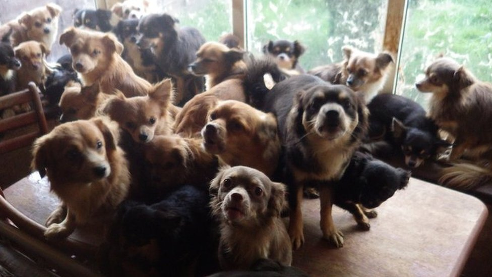 Eighty-two chihuahuas found at Birmingham house