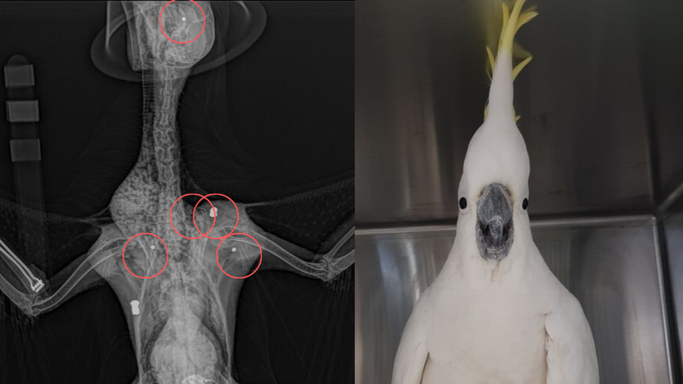 Австралійський какаду вижив після того, як в нього влучили п'ять разів з гвинтівки
