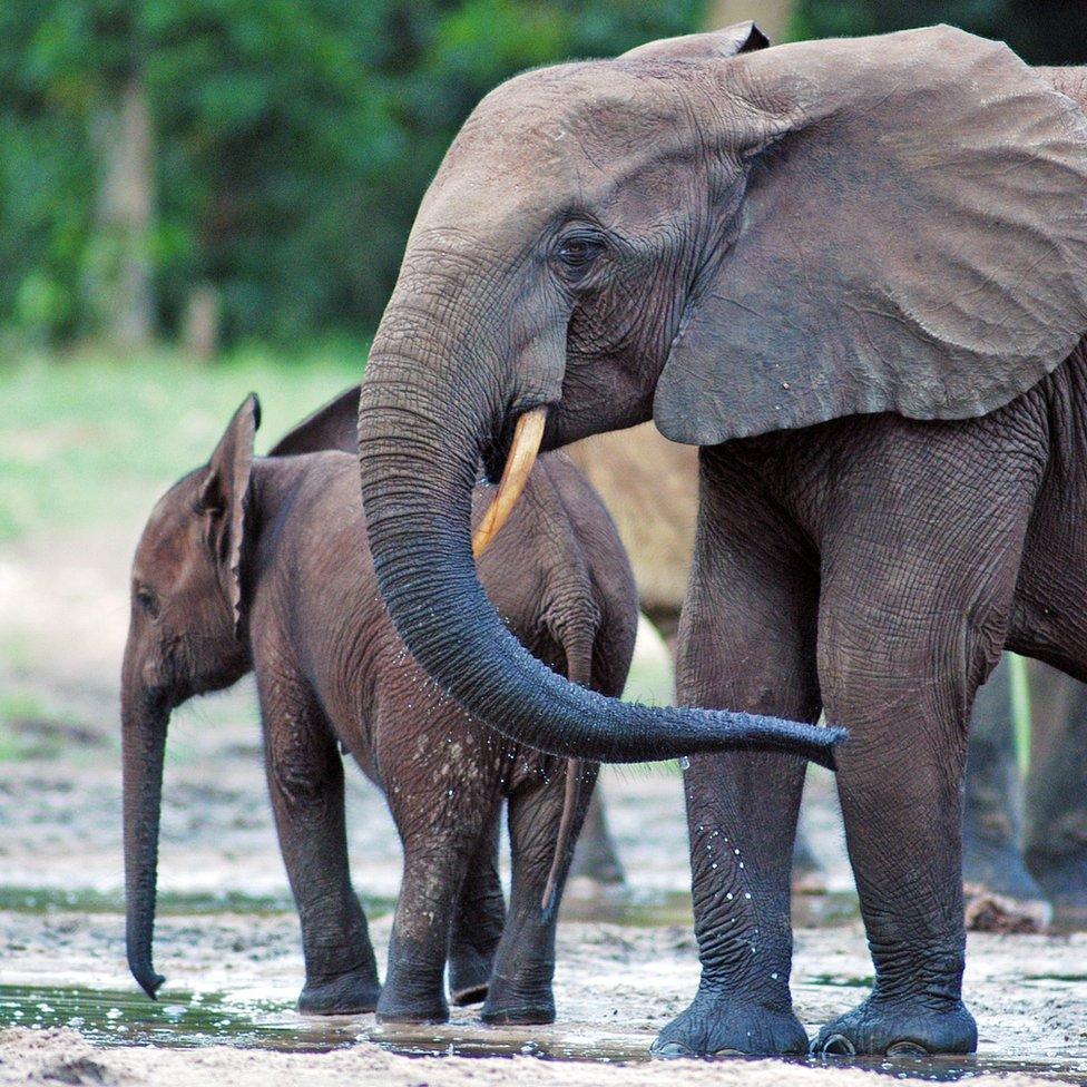 African elephant matriarch
