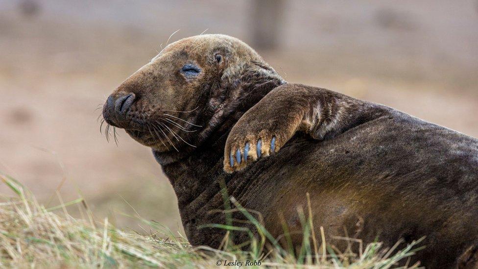 Grey seal at reserve
