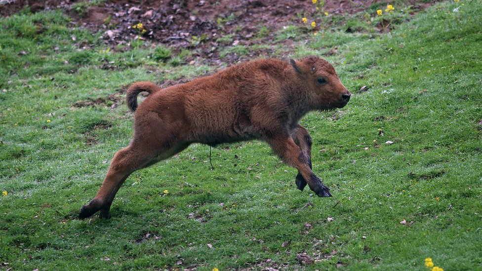 File photo of baby bison running on grass