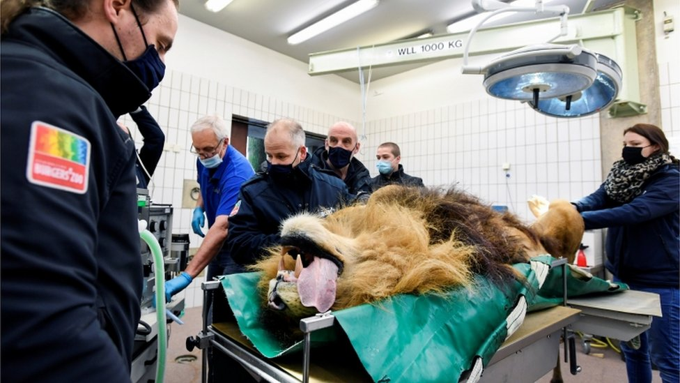 Ameliyat masasında aslan