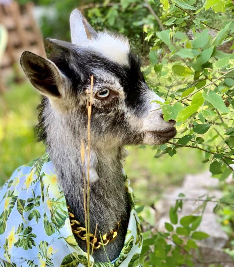 Turtle the goat has made the transition to a mountain goat