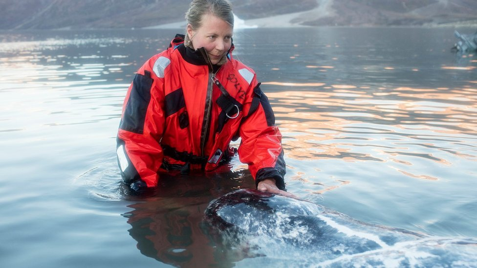 Researchers from UC Santa Cruz had to be in the water to fit tracking devices to the narwhals
