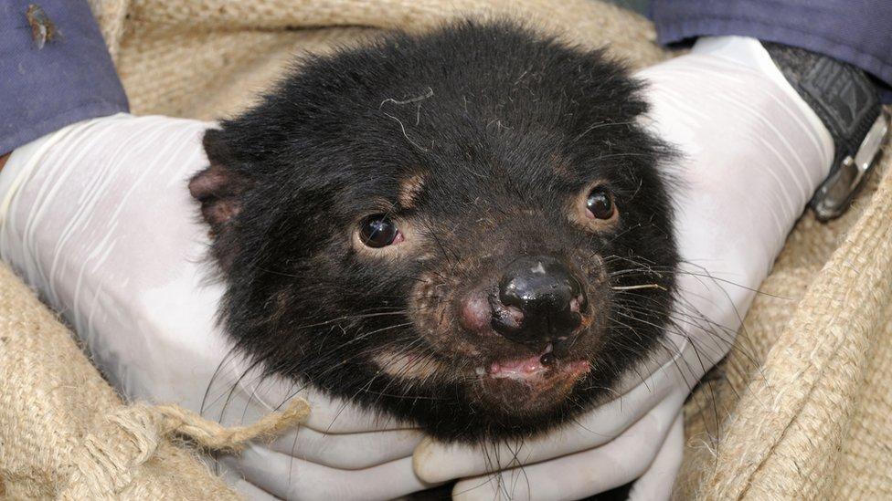 Tasmanian devil with facial tumour