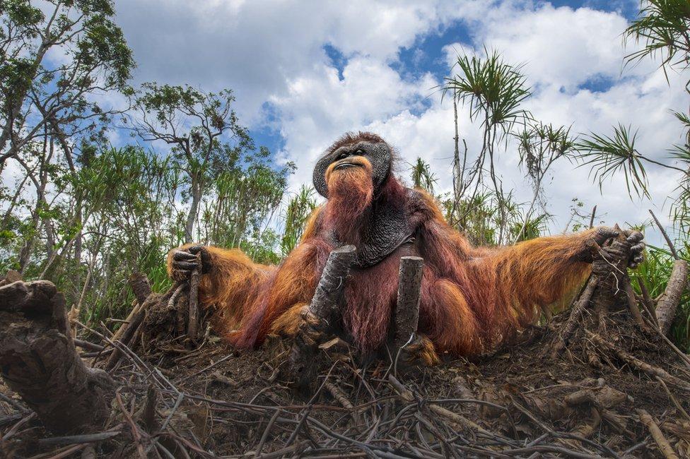 Orangutan se drži za panjeve posečenog drveća koje je nekada bilo njegov dom