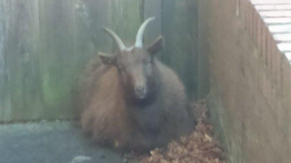 Stray goat found wandering around Shildon
