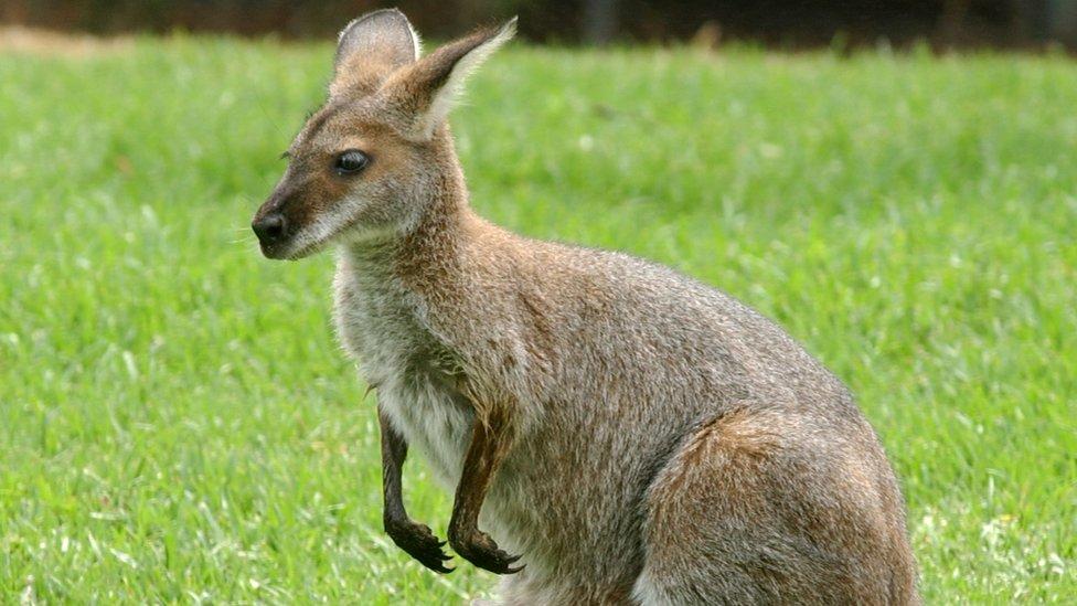 Kangaroo in Sydney Zoo, file pic 2002