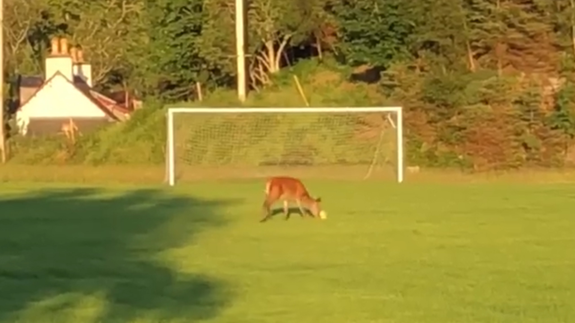 Deer enjoys playing football in the Scottish Highlands
