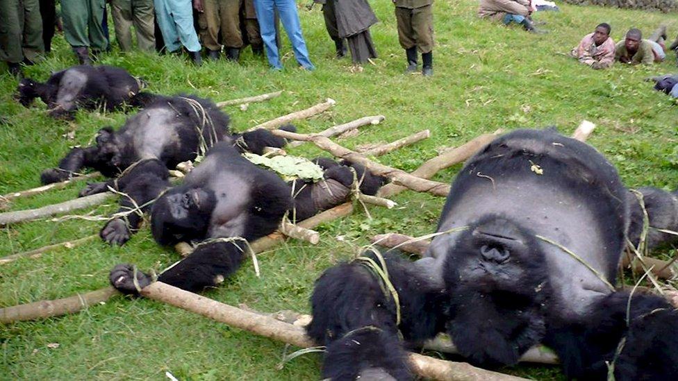 Битва за Вірунґу: люди жертвують собою, аби врятувати горил