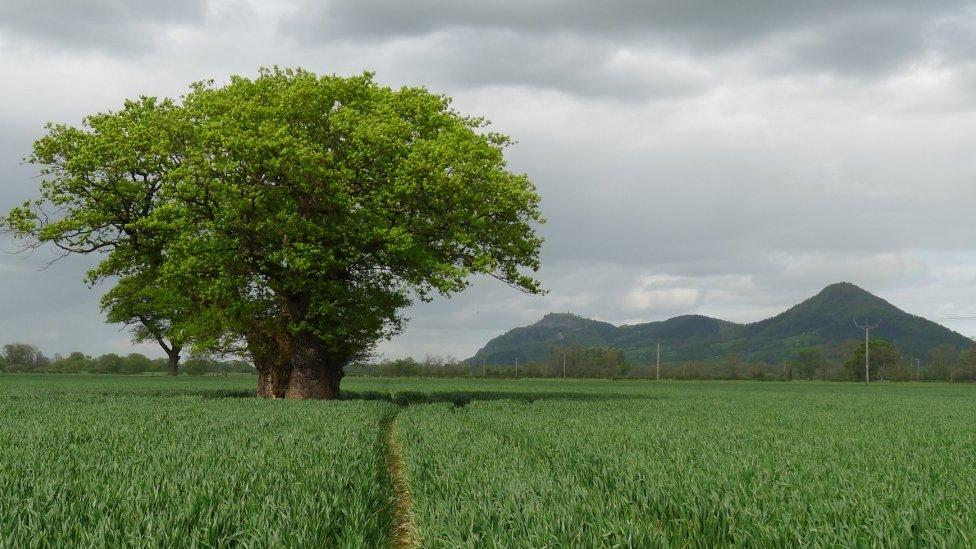 The oak when it was healthy