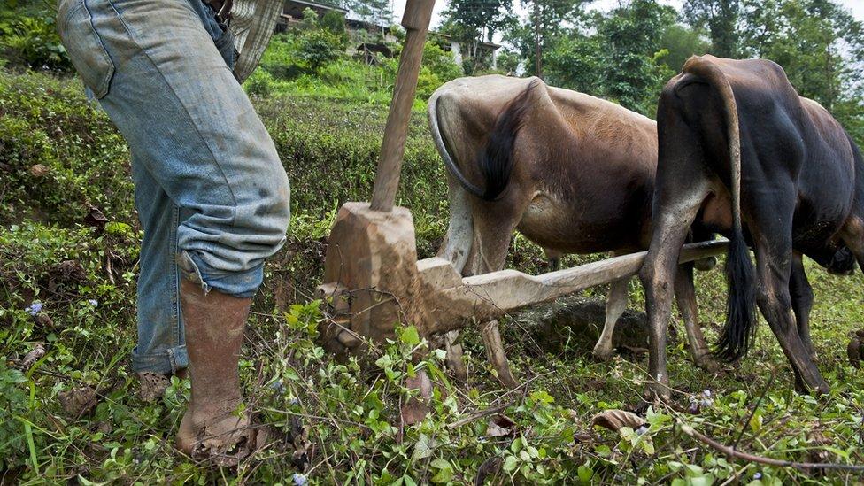 Un agricultor ara un campo con bueyes en Sikkim.