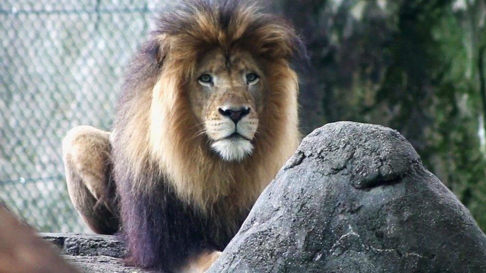 lav u Indijanopolisu