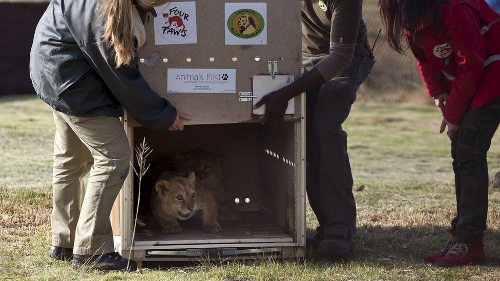 Lion cubs being released at an animal reserve in South Africa