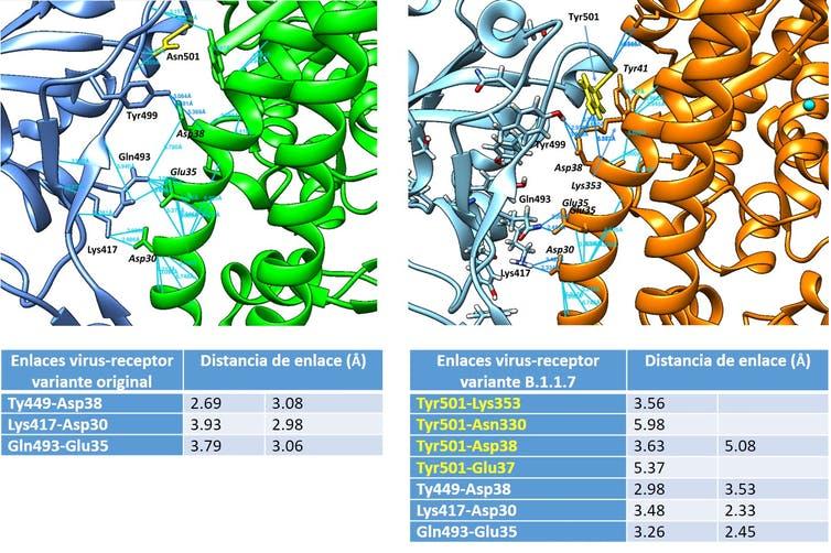Ilustración de nuevos enlaces de hidrógeno en la variante B.1.1.7