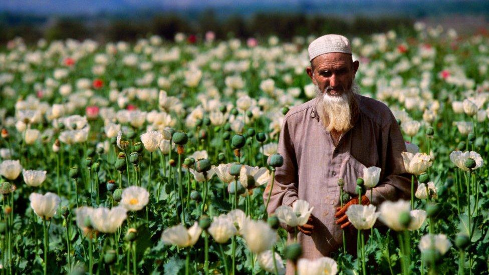 Cultivo de opio.