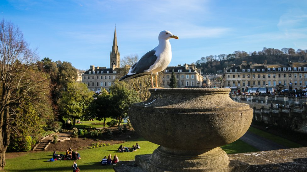 Gull in Bath