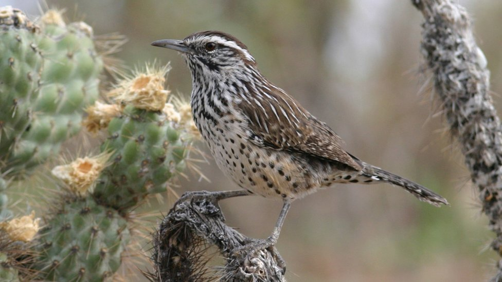 Cactus wren (c) Brian Sullivan, Macaulay Library at Cornell Lab of Ornithology