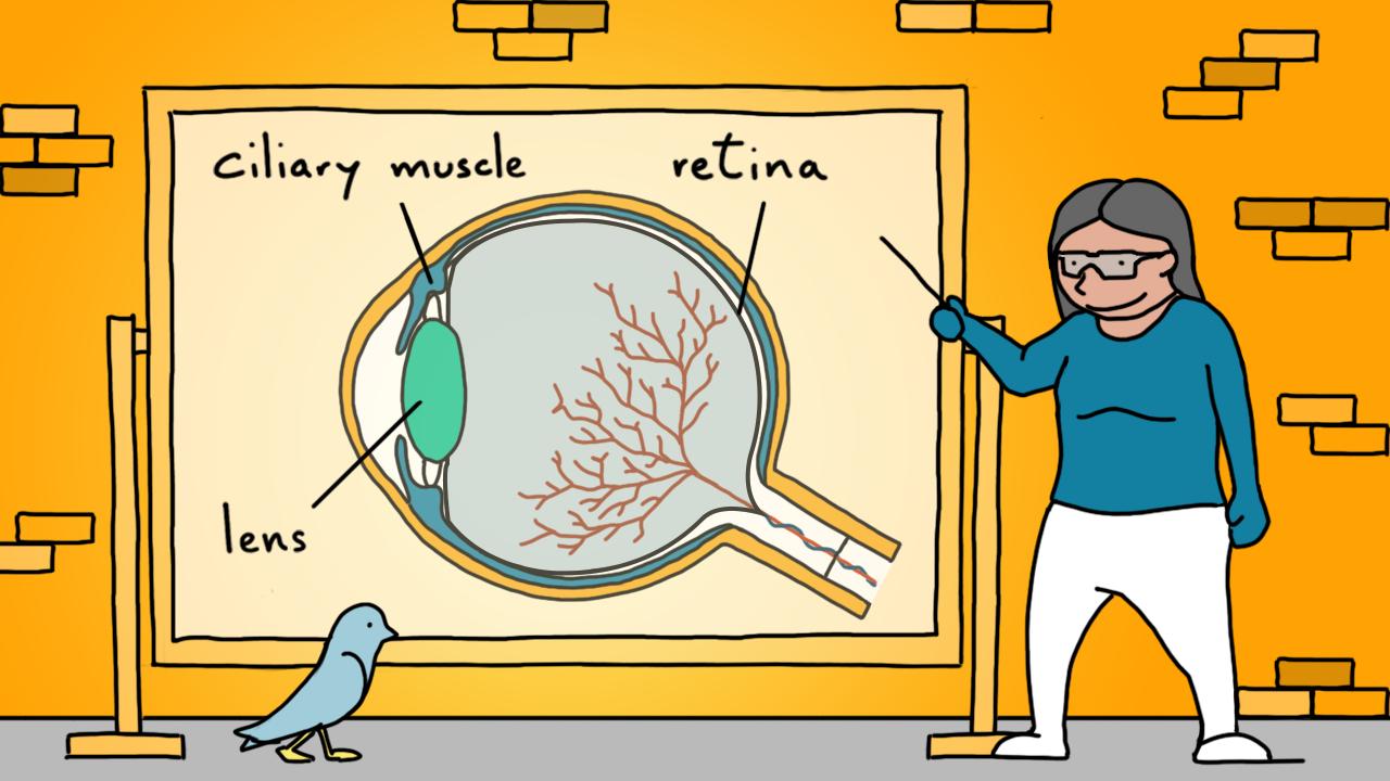 Ilustração da estrutura do olho