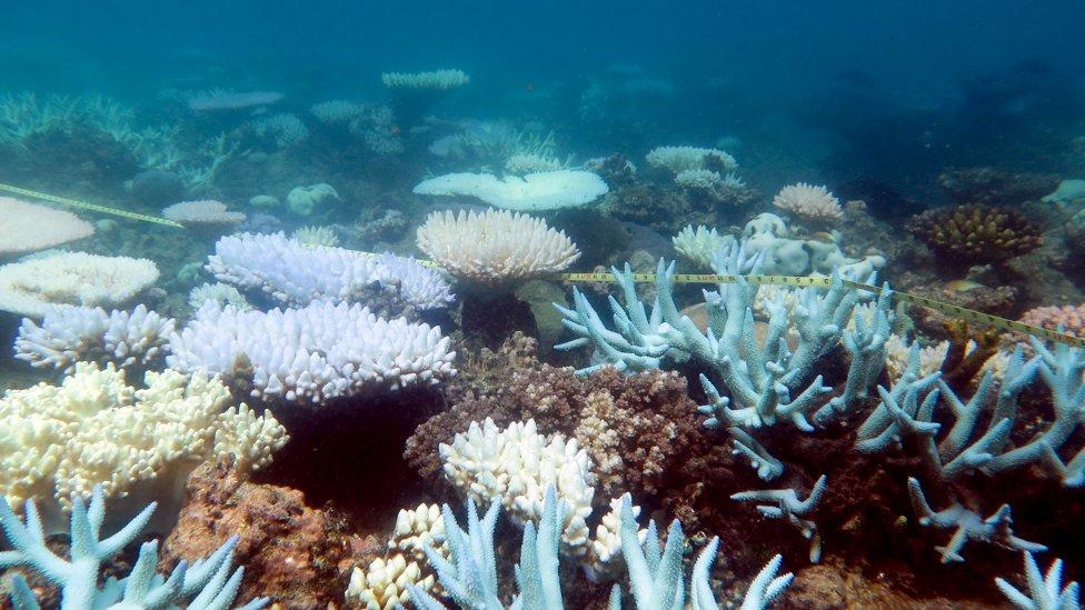 Various bleached coral species